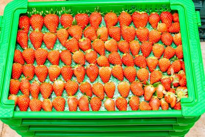 いちご イチゴ 苺 いちごハウス