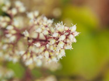 パステルカラーのツボサンゴの花