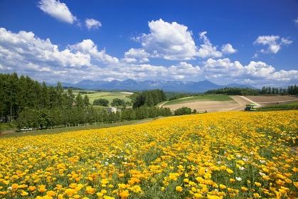 北海道 美瑛町の四季彩の丘 花菱草