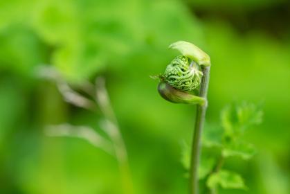 ハナウドの開花
