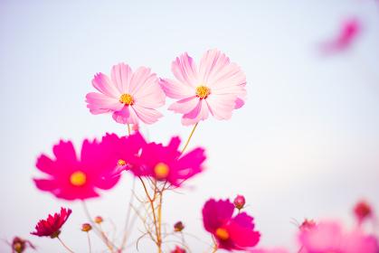 秋晴れに美しく咲く秋桜
