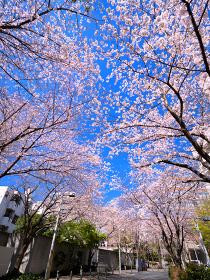 サクラが満開の六本木さくら坂 東京都