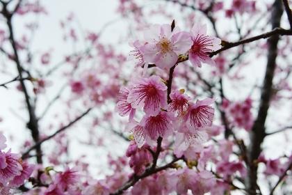 赤みの強い久米島の緋寒桜