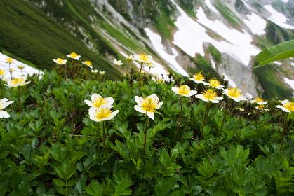 日本アルプスの高山植物 チングルマ トレッキング 登山 北アルプス