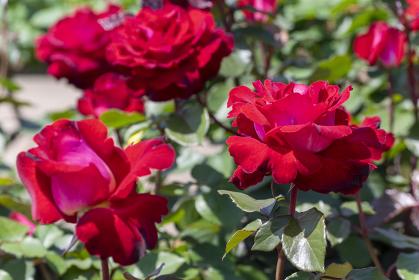 色鮮やかなバラの花 ロナルドレーガンローズ