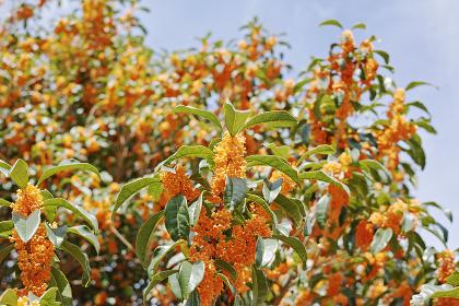 オレンジ色で強い香りのキンモクセイの花