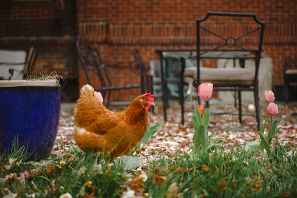 A free-range chicken walks in a bed of tulips by home patio , Columbus, OH, United States
