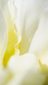 白いチューリップの花びらのアップ