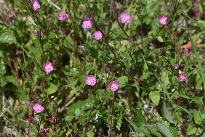 ユウゲショウ(夕化粧)の花