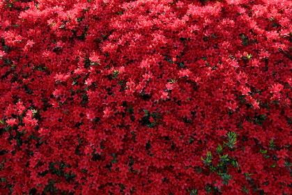 小さく真っ赤な満開のツツジの花
