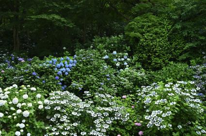 あじさい咲く高幡不動の風景・2021年6月(日野市・東京都・日本)