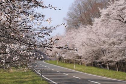 桜並木を通り抜ける道