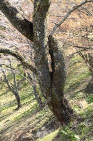 ねじれた山桜の幹