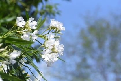 シロバナ夾竹桃の花