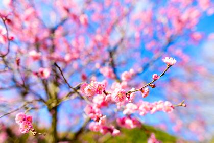 早春の綺麗な紅梅と青空