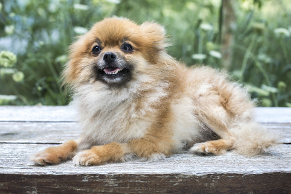 Close up portrait of a Pomeranian dog on deck with greenery behind