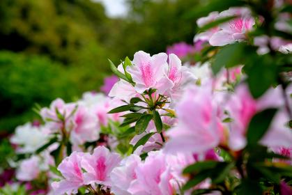 薄ピンク色の綺麗なヤマツツジ