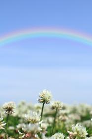 シロツメクサと空にかかる大きな虹 2 縦位置