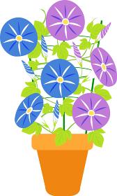 行灯仕立ての朝顔の花