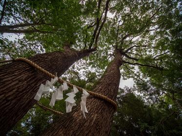 日本の神社の風景 氷川神社の夫婦楠 埼玉県さいたま市