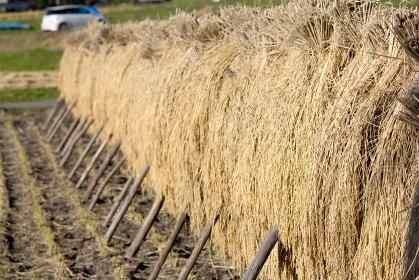 田園風景 水田 ハゼ掛けして収穫した稲、米を熟成する風景
