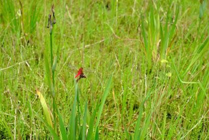 美しい真っ赤のショウジョウトンボ