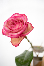 薔薇(バラ)・クローズアップ・白背景(白バック)
