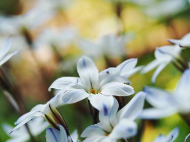 白い小さな花ハナニラ