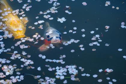 桜の花びらと池の鯉