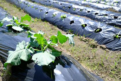 防草ビニールシートで育つブロッコリー