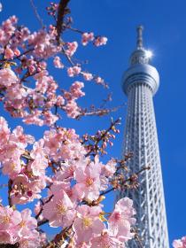東京スカイツリーとサクラの花