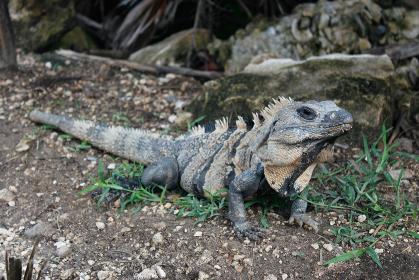 メキシコ・チチェンイッツァに生息する爬虫類の野生動物グリーンイグアナ