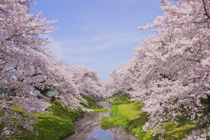 川沿いの桜 満開
