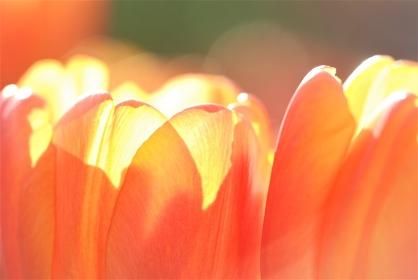 光が透過するチューリップ