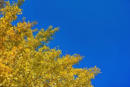 青空背景で対角線構図の黄葉したイチョウの枝葉