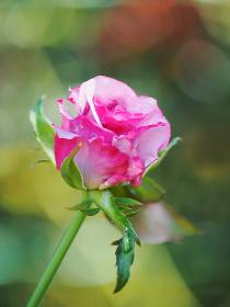 鮮やかなピンク色の花バラ