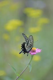ジニアと揚羽蝶
