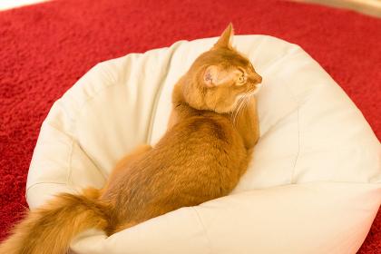 猫(ソマリ)・クッション・室内