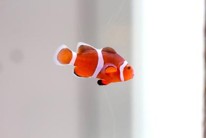 動物ポートレート:熱帯魚カクレクマノミの写真 白背景