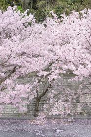道路に垂れ下がる満開の桜