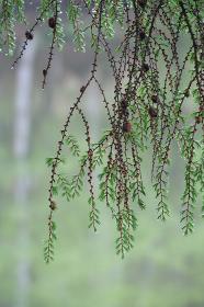 しずくが付いた針葉樹の若葉