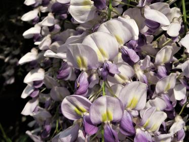 フジの花はやはり垂れ下がった姿の美しさが魅力です。フジ色と言われる淡い優しい色。