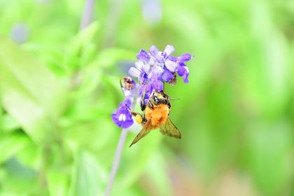 花にとまったクマンバチ