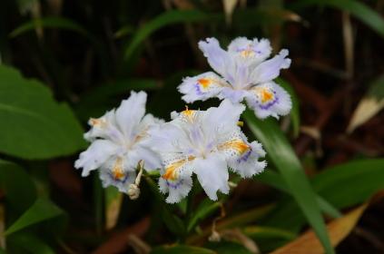 廃村の山道に咲いていたシャガの花