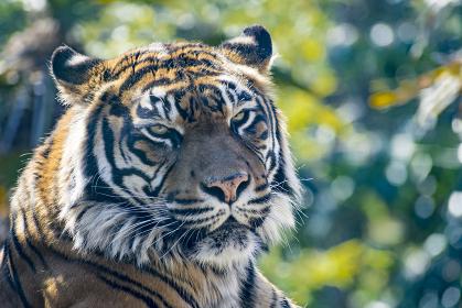 仙台の八木山動物園のトラ