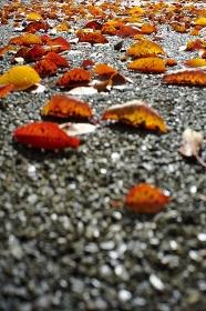 夜来の雨でアスファルトに落葉した桜の葉