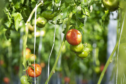 ビニールハウス栽培のプチトマト