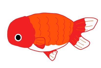 金魚のランチュウのイラスト