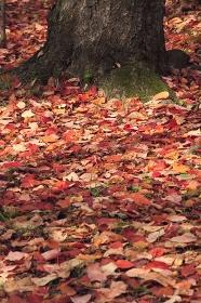 大木と落葉