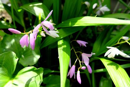 草むらに咲くシランの花